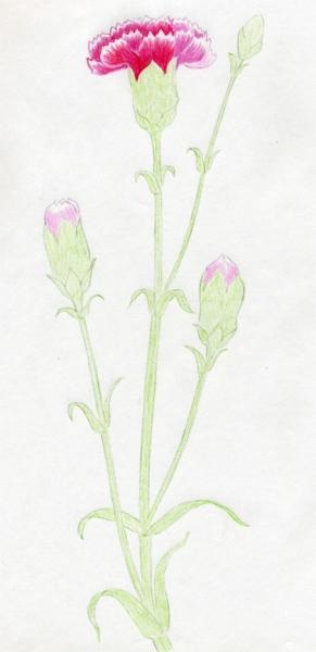 Cách vẽ hoa cẩm chướng-8