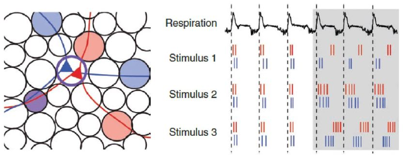 Sister Mitral/Tufted Cells Can Carry Distinct Information