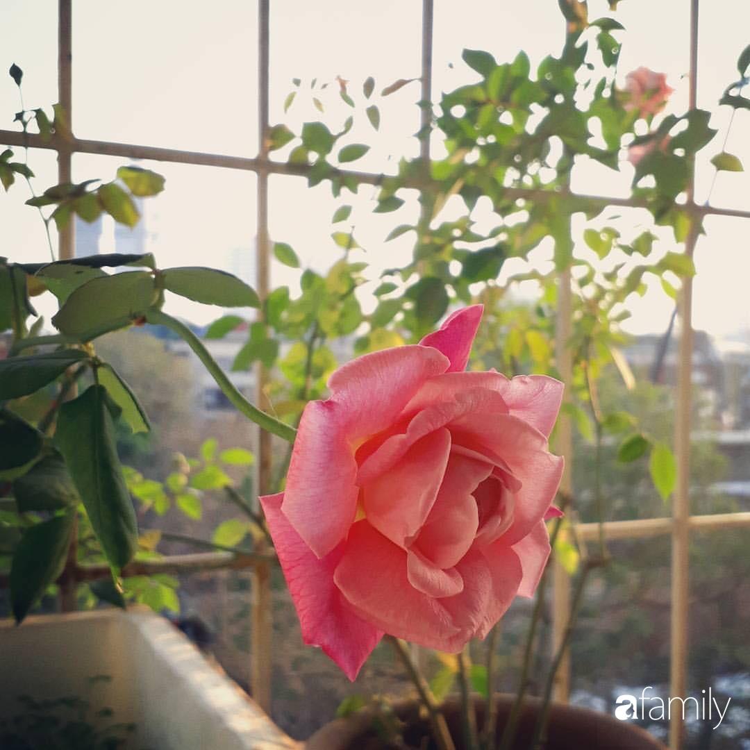 Ban công tập thể biến thành khu vườn đủ loại rau quả và hoa nhờ bí quyết đặc biệt của mẹ trẻ Hà Nội - Ảnh 19.