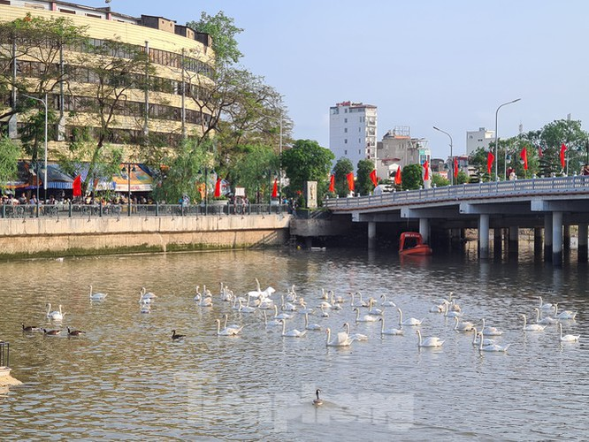 65 pairs of swans released into hai phong river hinh 8