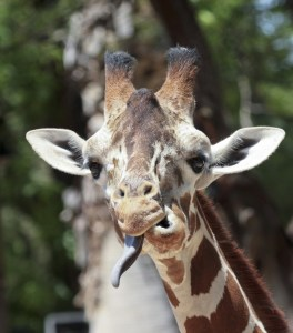 Giraffe sticking out its tongue