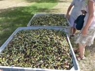 Olivenernte Zisola