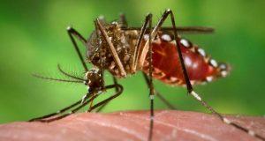 El mosquito aedes aegypti es responsable de transmitir peligrosas enfermedades como el dengue, el chikungunya y el zika.