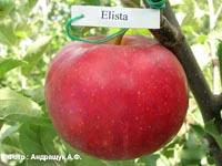 сорт яблок Элиста