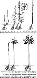 Схема выращивания и формирования штамбового крыжовника за две вегетации