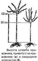Высота штамба крыжовника, привитого на крыжовнике и смородине