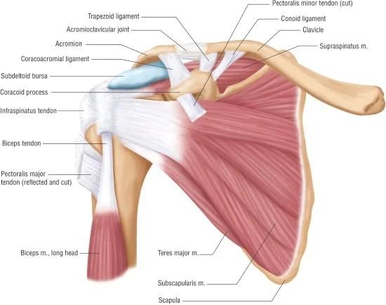 anatomie schouder