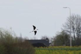 Steltkluut; Black-winged Stilt