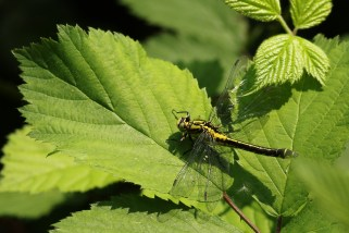 Beekrombout; Common Clubtail