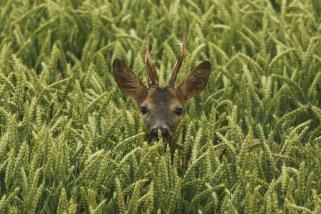 Ree; Roe Deer