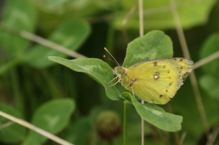 Gele Luzernevlinder; Common Clouded Yellow