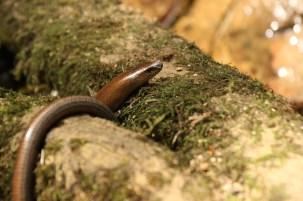 Hazelworm; Slow Worm