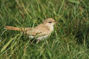Rosse Waaierstaart; Rufous-tailed Scrub Robin