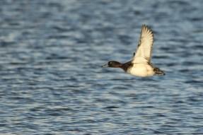 Kuifeend; Tufted Duck