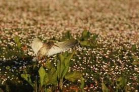 Tureluur; Common Redshank