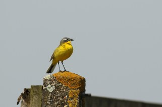 Gele Kwikstaart; Yellow Wagtail