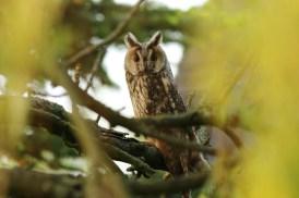 Ransuil; Long-eared Owl