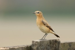Tapuit; Northern Wheatear