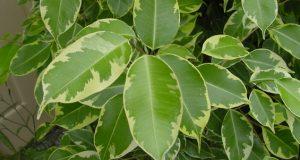 Hur man transplanterar Ficus hemma steg för steg, i en annan kruka, efter inköp