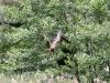 Rohrweihe (Circus aeruginosus)