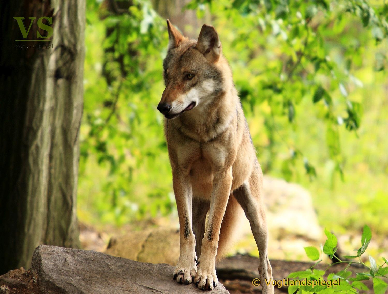 Der Wolf (Canis lupus)