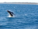 whale watching Harvey Bay (12)