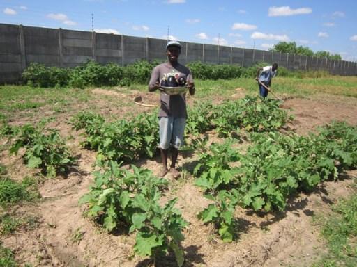 Eggplants at voh kitwe
