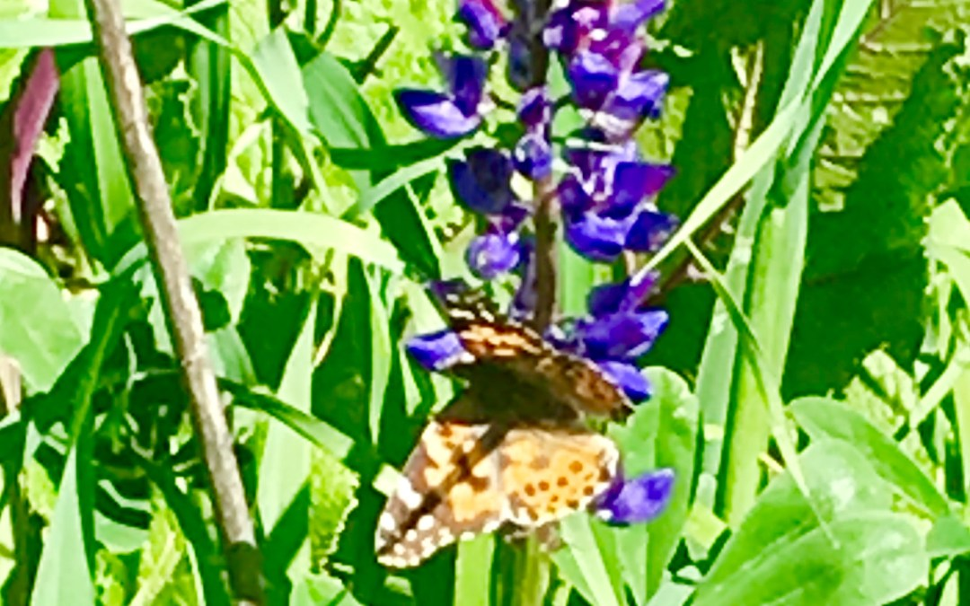 Butterfly Kisses: An Unexpected Encounter With the Painted Ladies