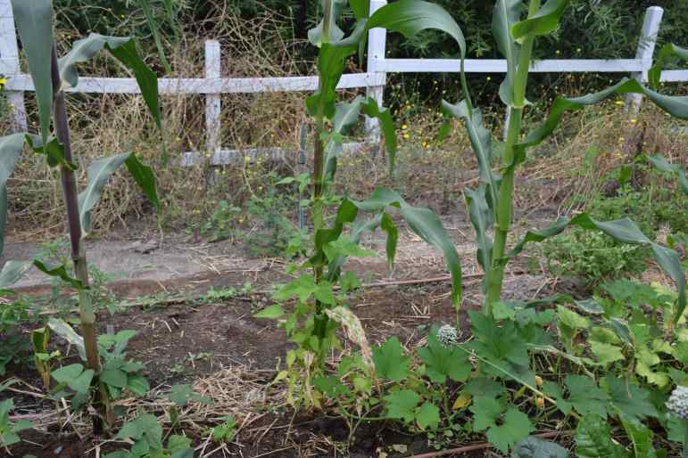 """Milpa"" is the self-sustaining Mayan farming method where corn stalks, bean sprouts and squash plants grow together."