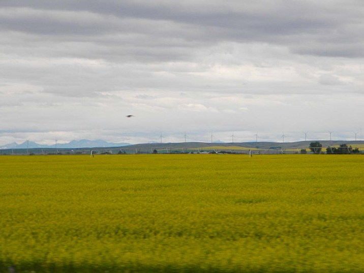 Another Canola shot