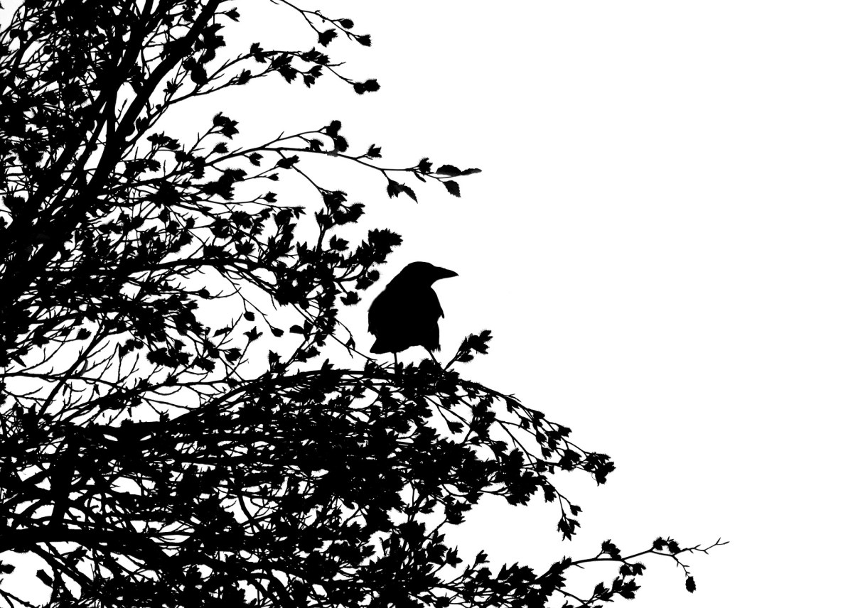 Solitary crow in a tree