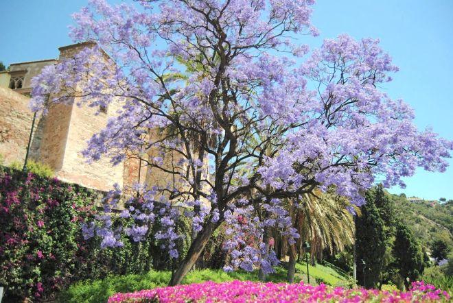 jardins de málaga jacaranda