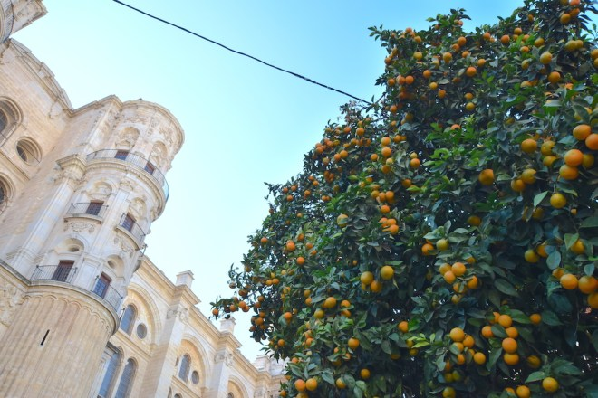 orange tree malaga cathedral