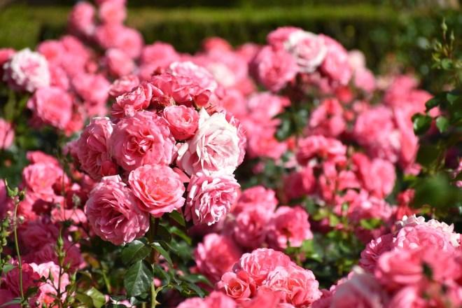malaga roses