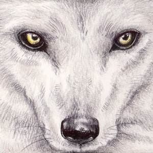 Lia R – Loup blanc