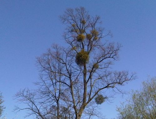 Mistletoe in Oxford
