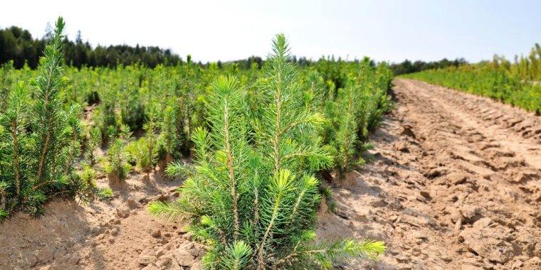 Ленобласть подготовила семена хвойников для восстановления лесов