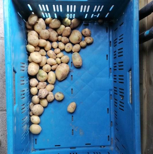 aardappelopbrengst