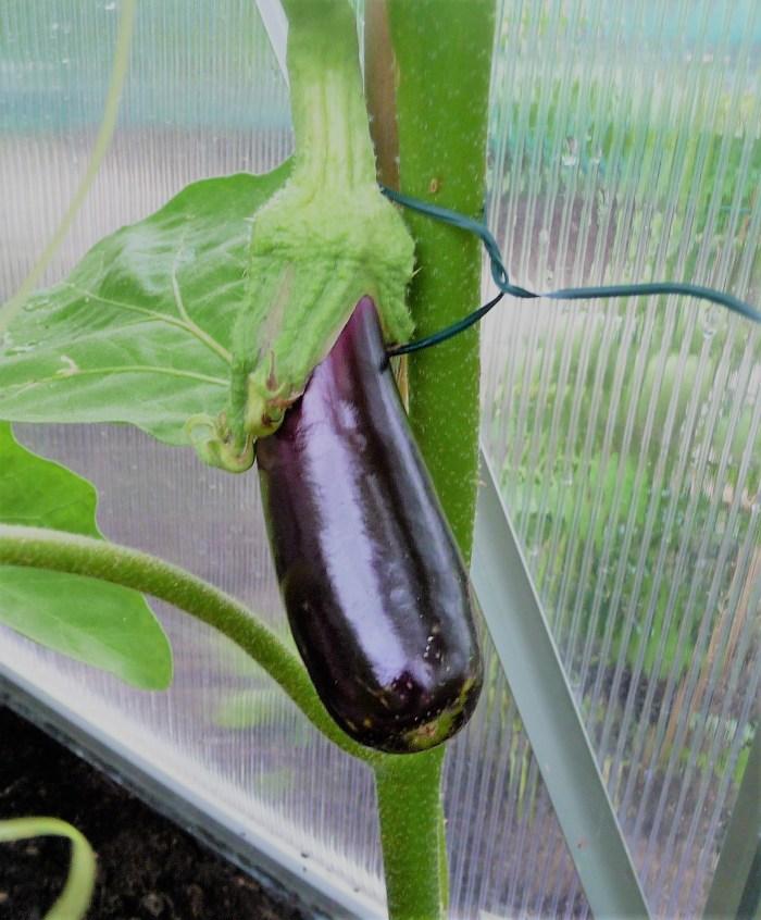 aubergine in de kas