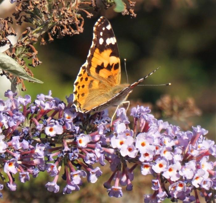 Distelvlinder op de bloem van de vlinderstruik