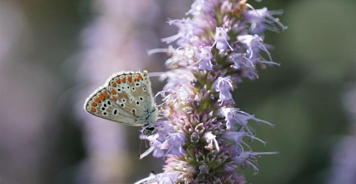 Icarus blauwtje op de dropplant