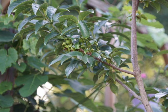 kakifruit
