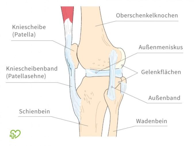 kniegelenk-anatomie - volleyball-experte.de