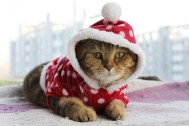 cute-cat-wearing-christmas-outfit