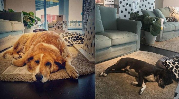 Κατάστημα ΙΚΕΑ αφήνει αδέσποτους σκύλους να κοιμηθούν πάνω στα χαλιά του για να μην κρυώνουν