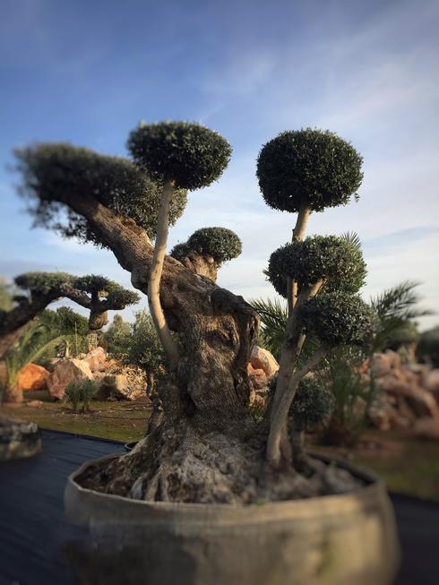 Flame trees of Ibiza