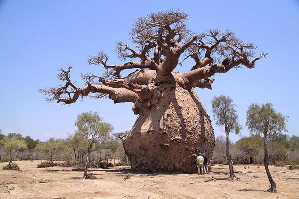 Baobab 2