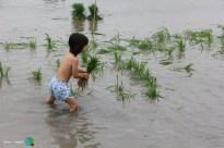 Plantada de l'arros - Poble Nou del Delta - 08 juny 2014 d1-imp