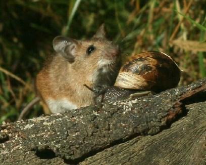 cargol jugant amb un ratolí