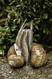 Amor de cargols